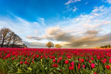 The Sun Sets On A Willamette Valley (Oregon) Tulip Field.