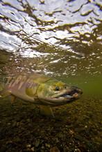 Chum Salmon Being Released In Alaska