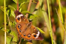 A Common Buckeye (Junonia Coenia) Butterfly In Virginia.