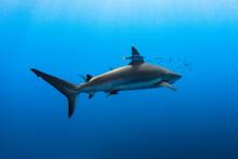 Cuba, Jardines De La Reina. A Silkie Shark Swimming With Fishes Around.
