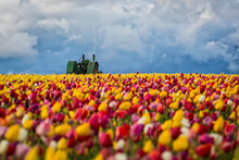 Old John Deere Tractor In A Colorful Tulip Field