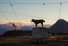 The Two Station Huskies Stand On Guard (against Polar Bears) At The Polar Station In Hornsund, Svalbard.