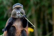 A Golden Monkey Feeds On Bamboo In Rwanda.