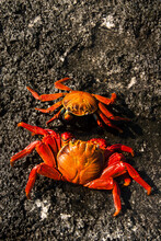 Sally Lightfoot Crabs Start The Mating Process In The Galapagos Islands, Ecuador.