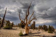 Dramatic Skies Above The Ancient Bristlcone Pine Trees As A Storm Passes. Located Near Bishop, California In The Eastern Sierra Nevada Mountains.