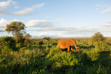 A Wild African Elephant Grazing At Sunset At Tarangire National Park In Tanzania