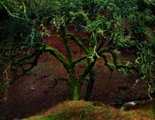 Oak Tree, Mendocino Coast , California, USA