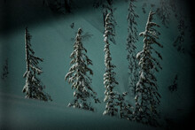 Fir Trees Are Covered With Fresh Snow In The Cascade Range Of Washington Near Mount Baker Ski Area.