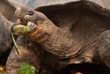 A Giant Galapagos Tortoise Eats, Ecuador.