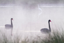 A Pair Of Black Swans (Cygnus Atratus) Swims In A Wetland In Western Australia.