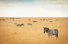 Zebras Grazing On The Wide Open Savannas Of The Masai Mara, Kenya.