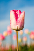 Skagit Valley, Washington: A Close-up Of A Pink Tulip Highlighted Against The Morning Sky.