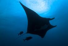 Mexico, Baja California, Revillagigedo Islands. A Silhouette Of A Manta Ray And Two Fishes Swimming Near Socorro Island.