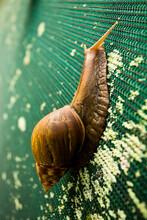 A Large Snail In Kauai, Hawaii