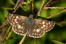 A Common Checkered Skipper (Pyrgus Communis) Butterfly In Virginia.
