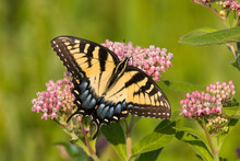 An Eastern Tiger Swallowtail (Papilio Glaucus) Feeds On Milkweed (Asclepias Sp.) In A Virginia Wetland.