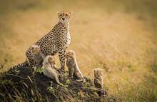 A Cheetah Mother And Her 4 Cubs Scan The Grasslands Of The Masai Mara, Kenya.