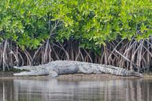 American Crocodile Basks On A Mud Flat In Everglades National Park, Florida.