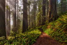 Sunrays Break Through In The Redwood Forest