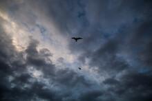 Arctic Tern (Sterna Paradisaea) Fly Overhead On The Coast In Hornsund, Svalbard.