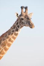 Giraffe Portrait In Tanzania