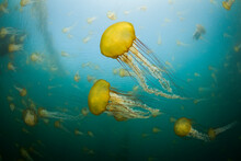 Sea Nettles Jellies, Chrysaora Fuscescens, Fill The Water Off The Coast Of Carmel In Central California.