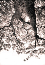 A Black And White Sepia Toned Infrared Photograph Of A Tree Shot From The Ground With A Wide Angle Lens.