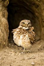 Othello, Washington: A Portrait Of A Burrowing Owl Guarding Its Burrow.