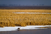 An Otter Stands On Ice On Flat Creek In The National Elk Refuge Near Jackson, Wyoming.