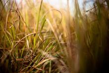 A Locust Sings From The Grasses In Tallgrass Prairie National Preserve In Kansas.