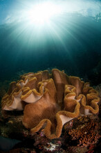 A Reef Scene With Soft Cora And Sun Ball In Triton Bay/Raja Ampat, Indonesia