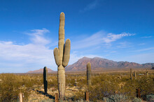 Tall Cactus Bush Tree Plant In A Desert Setting With Mountain Range Dry Ranch Land Beyond Landscape Background