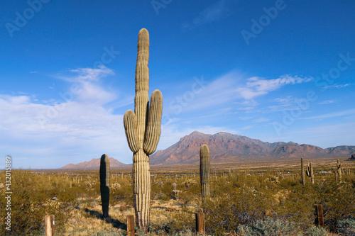 tall cactus bush tree plant in a desert setting with mountain range dry ranch la Fototapeta