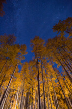 A Car Driving By Illuminates A Stand Of Golden Aspen Trees As The Milky Way If Faintly Visible Above.