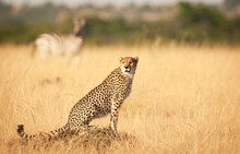 A Lone Cheetah With A Zebra In The Background Survey The Local Surroundings In The Masai Mara, Kenya.