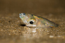 A Female California Grunion (Leuresthes Tenuis) Burrows Into The Sand To Lay Her Eggs On A Southern California Beach.