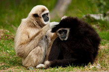 A Pair Of Captive White Handed Gibbons, Maintain The Grooming Standard At The Zoo, California
