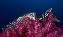 A Sea Turtle Enjoying A Soft Coral On The Yongala Wreck In Australia.