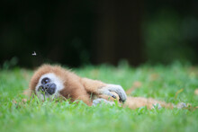Female White-handed Gibbon (Hylobates Lar) Resting. Rehabilitated And Released. Kaeng Krachan National Park. Thailand.