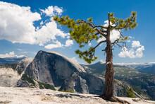 Ponderosa Pine (Pinus Ponderosa) And Half Dome From The Top Of Quarter Dome, Yosemite National Park, California.
