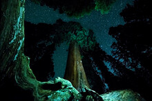 Lighting Painting A Group Of Giant Sequoias In The Grant Grove Area Of Kings Canyon National Park, CA