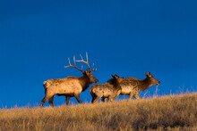 A Bull, Cow, And Calf Elk Climb Up A Hill In Wind Cave National Park, South Dakota.