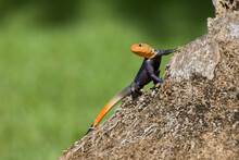A Common Agama (Agama Agama), An Invasive Species From Africa, Photographed In South Florida.