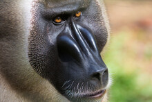 Drill Monkey, Nigeria