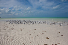 A Flock Of Seabirds, Terns, Skimmers And Gulls, Flies Above A White Sand Beach At Low Tide On Holbox Island, Mexico.