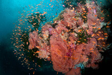 Fiji Reef Scene With Gorgonians, Soft Corals, And Schools Of Anthias.