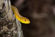 A Yellow Rat Snake (Elaphe Obsolete Quadrivittata) In South Florida.