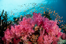 Fiji Reef Scene With Soft Corals, And Schools Of Anthias.