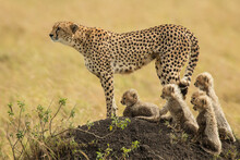 A Mother Cheetah And Her 5 Cubs Keep On The Lookout For Danger In The Masai Mara, Kenya.