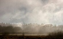 A Large Group Of Geese Fly Through Early Morning Fog At The Ridgefield National Wildlife Refuge